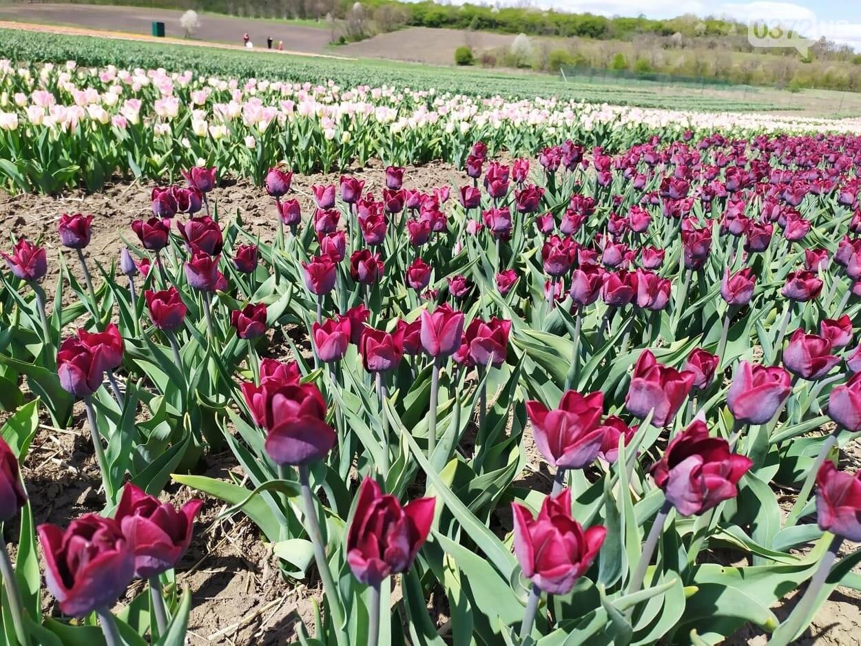 Зацвіла долина тюльпанів поблизу Чернівців (ФОТОФАКТ), фото-2