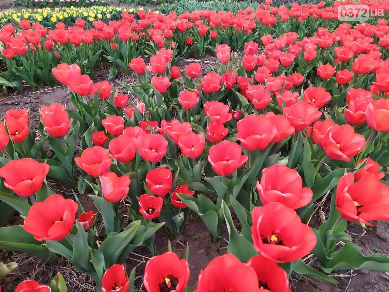 Зацвіла долина тюльпанів поблизу Чернівців (ФОТОФАКТ), фото-4
