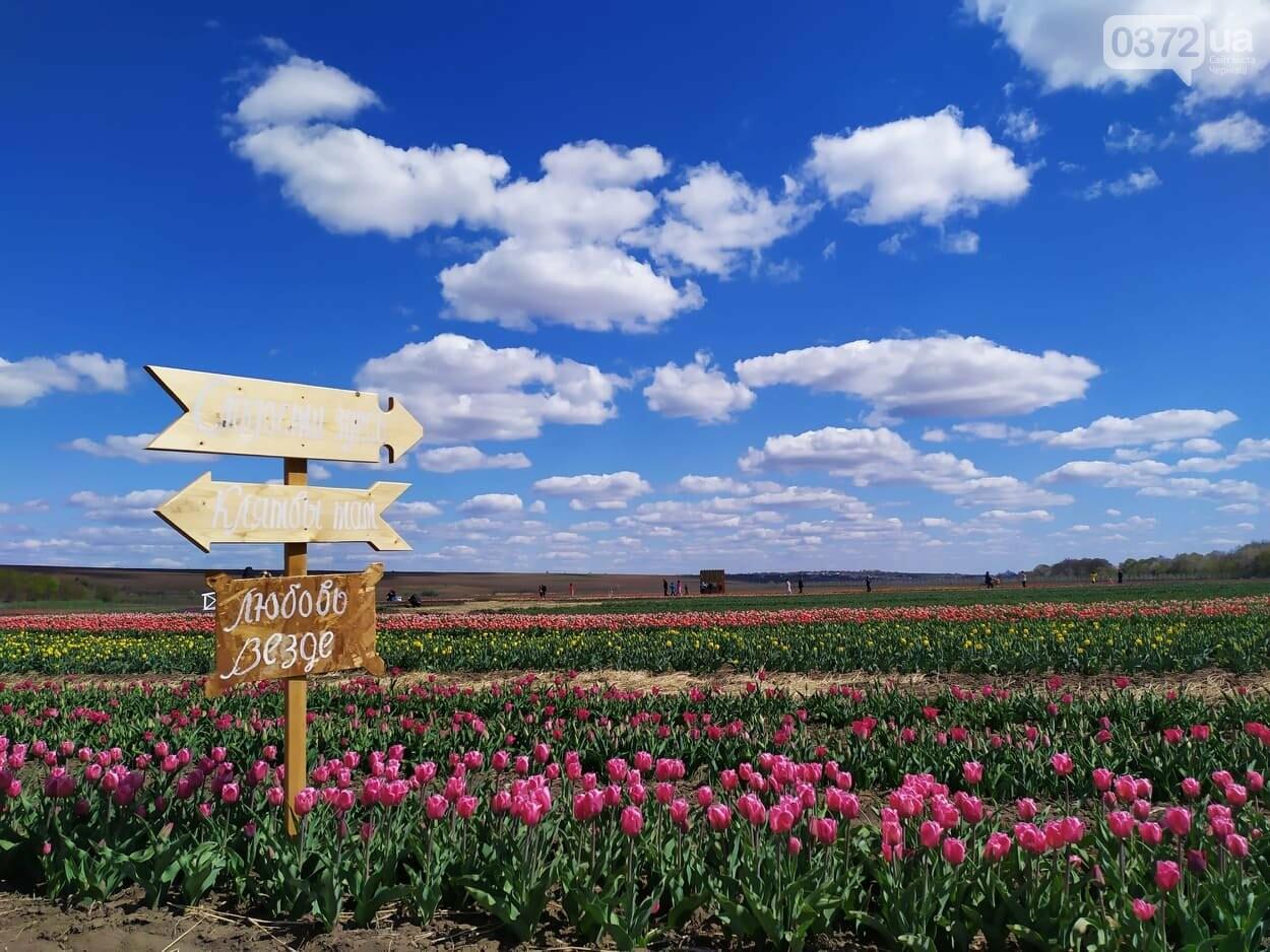 Зацвіла долина тюльпанів поблизу Чернівців (ФОТОФАКТ), фото-1