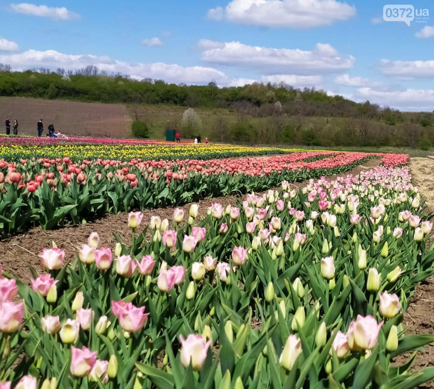 Зацвіла долина тюльпанів поблизу Чернівців (ФОТОФАКТ), фото-3