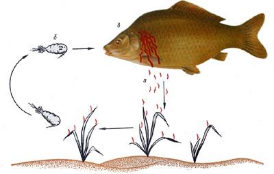 Буковинців просять повідомляти про всі випадки виявлення риби, яка заражена гельмінтами, фото-2