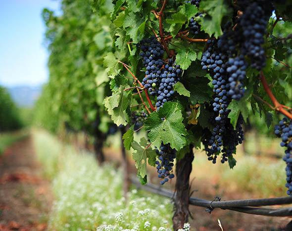 Виноград знижує рівень цукру в крові