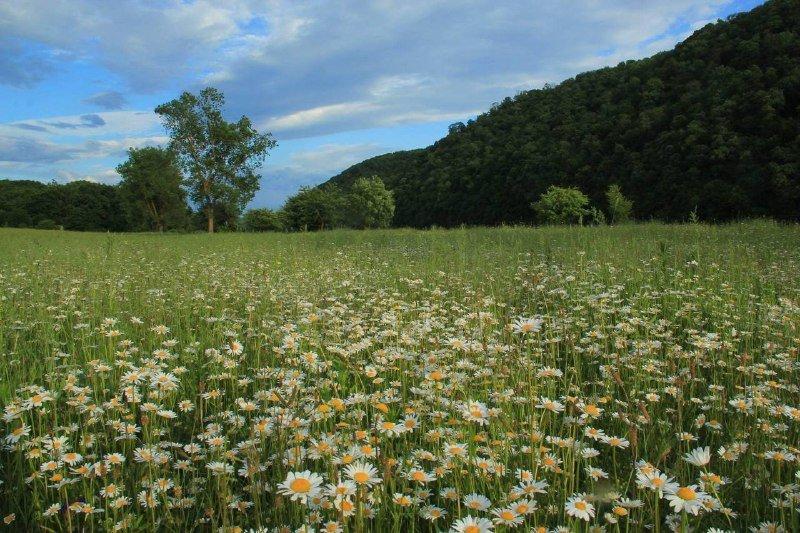 Ромашкове поле на Прикарпатті